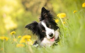 Животные: Бордер-колли, собака, морда, взгляд, одуванчики, цветы, боке