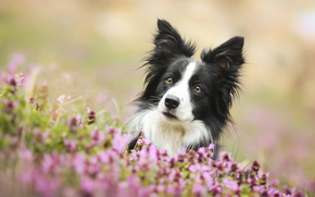 Животные: Бордер-колли, собака, морда, взгляд, цветы