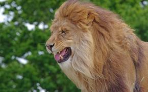 Животные: лев, царь зверей, грива