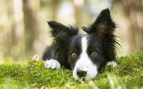 Животные: Бордер-колли, собака, морда, взгляд, мох