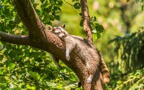 Животные: енот, расслабон, релакс, сон, дерево, на дереве