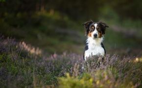 Животные: Австралийская овчарка, Аусси, собака, вереск