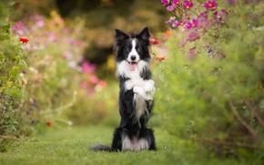 Животные: Бордер-колли, собака, стойка, настроение, цветы, космея