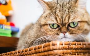 Животные: Экзотическая короткошёрстная кошка, экзот, кот, морда, взгляд, сердитый
