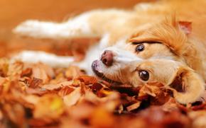 Животные: собака, морда, взгляд, настроение, листья, осень