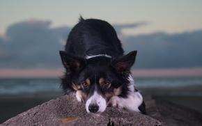 Животные: собака, морда, взгляд, камень