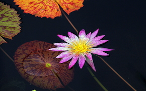 ���� �����: Water Lily, ������� �����, ������, �����