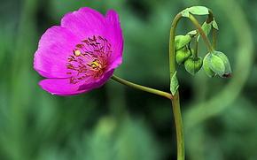 Макро: цветок, бутоны, макро