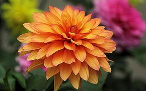 Цветы: георгин, цветок, флора