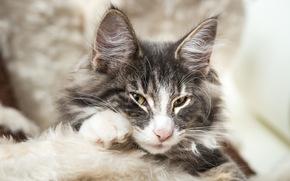 Животные: Норвежская лесная кошка, мордочка, уши, хитрый взгляд, взгляд