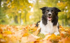 Животные: собака, листья, осень