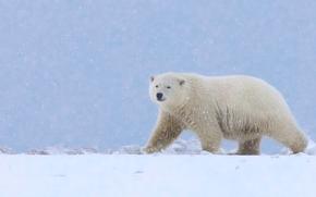 Животные: Аляска, белый медведь, полярный медведь, медведь, снег
