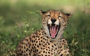 Животные: гепард, дикая кошка, хищник, пасть, смех, ха-ха-ха