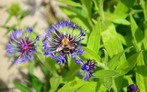 Природа: Пчела, природа, цветы, лето, трава, дача