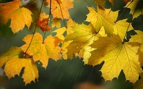 Природа: осень, клён, листья, макро