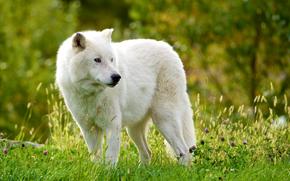 Животные: Мелвильский островной волк, Арктический волк, волк