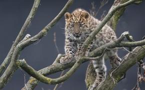 Животные: Дальневосточный леопард, Амурский леопард, леопард, детёныш, котёнок, ветки