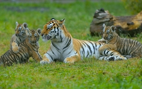 Животные: тигры, тигрица, тигрята, детёныши, котята, материнство