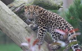 Животные: Дальневосточный леопард, Амурский леопард, леопард, детёныш, котёнок, бревно