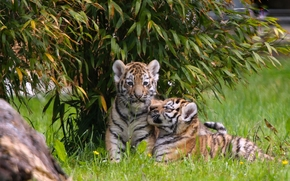тигры, тигрята, котята, детёныши, малыши, парочка, двойняшки обои, фото