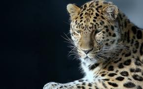 Животные: леопард, красавец, портрет