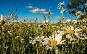 Природа: луг, цветы, ромашки, лето
