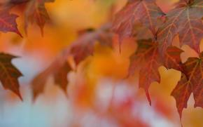 Природа: листья, клён, осень, макро