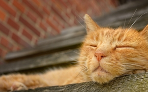 рыжий кот, морда, сон, отдых обои, фото
