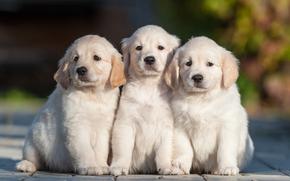 Животные: собаки, щенки, трио, троица