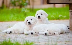 собаки, щенки, отдых обои, фото