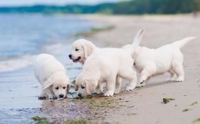 собаки, щенки, квартет, пляж обои, фото