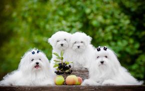 собаки, щенки, квартет, яблоки, ягоды обои, фото