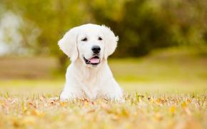 собака, лужайка, боке обои, фото