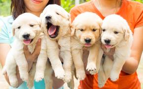 собаки, щенки, квартет обои, фото