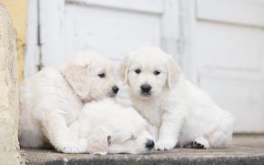 Животные: собаки, щенки, троица, трио