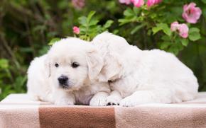 собаки, щенки, парочка обои, фото