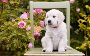 Животные: собака, щенок, цветы, розы, стул