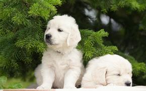 собаки, щенки, двойняшки, парочка, еловые ветки обои, фото