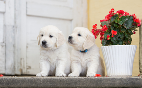 Животные: собаки, щенки, двойняшки, парочка, цветок, бегония
