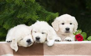 собаки, щенки, трио, троица, цветок, роза, еловые ветки обои, фото