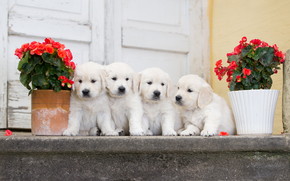 Животные: собаки, щенки, квартет, цветы, бегония