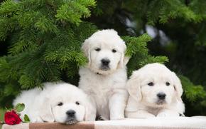 Животные: собаки, щенки, трио, троица, цветок, роза, еловые ветки
