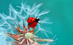 Макро: божья коровка, жук, насекомое, козлобородник, цветок, макро