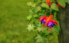 Цветы: фуксия, листочки, макро