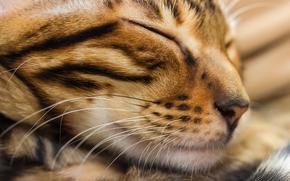 Животные: кот, кошка, морда, сон