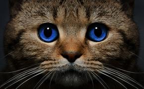 Животные: кот, кошка, морда, голубые глаза, взгляд, усы