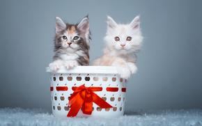 Животные: мейн-кун, котята, парочка, корзина