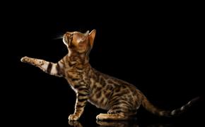 Животные: Бенгальская кошка, лапка, чёрный фон