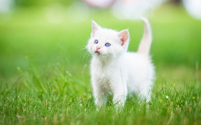 Животные: белый котёнок, котёнок, малыш, голубые глаза, трава