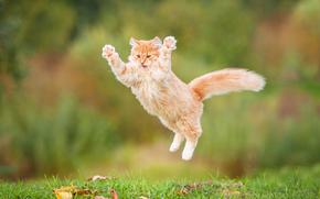 Животные: рыжий кот, кот, рыжий, пушистый, прыжок